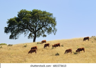 Countryside landscape. Cow and calves grazing grass on farmland field between cork oak trees at sunset. Evora, Alentejo, Portugal