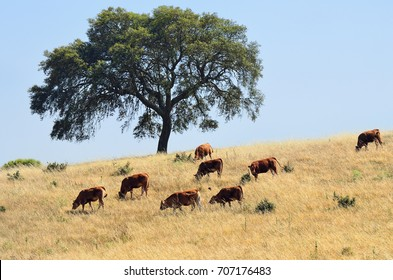 Countryside landscape. Cow and calves grazing grass on farmland field under cork oak tree at sunset. Evora, Alentejo, Portugal