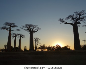 Countryside road at sunset where endangered and endemic Baobab trees survive for over 2000 years and people worship the trees