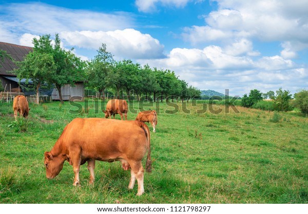 Countryside scenery with a herd of Limpurger breed cows, grazing on a green meadow, near their stable and an orchard, in Schwabisch Hall, Germany.