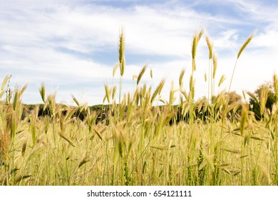 Countryside wheat field in a sunny day