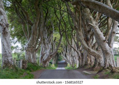 County Antrim/ Northern Ireland - May 15,2019: The Dark Hedges in Northern Ireland in soft afternoon light.
