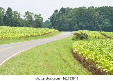 A county road winds through the red dirt fields and rows of green tobacco plants on a rainy day, in the North Carolina farm country.