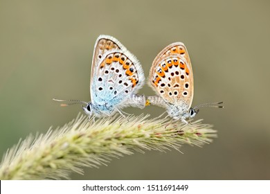 Couple of Adonis blue (Lysandra bellargus ) butterflies. Mating butterflies in spring in nature macro