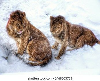 Couple of African Lions on snow. Male and female lion playing on snow in Warsaw zoo in Poland. White background.