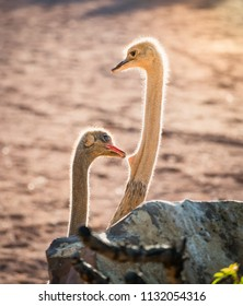 couple of African ostriches, one of them pulls the other from the neck, with the beak