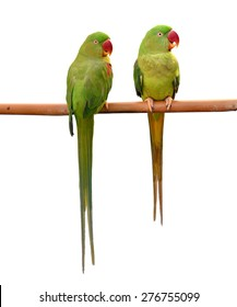 Couple of Alexandrine Parakeet, green parrot bird isolated on white backgroud