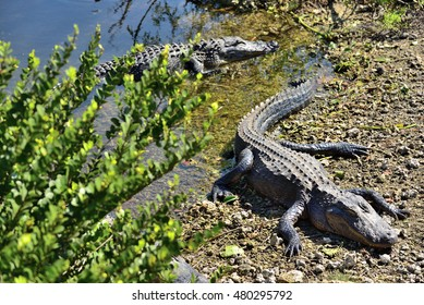 A couple of Alligator