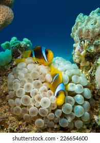 Couple of anemone fish in a symbiotic relationship with soft coral