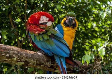 Couple of Araras. A Macaw (Ara ararauna) and a Macaw red-large (Ara chloropterus) . Captive animal.