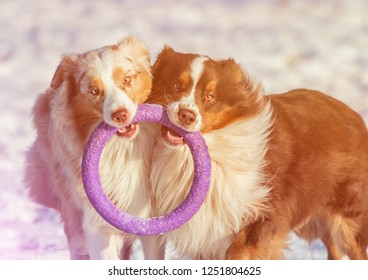 Couple of Australian Shepherd dogs playing at sunset