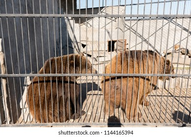 A couple of bears in captivity in a zoo behind bars. Power and aggression in the cage.
