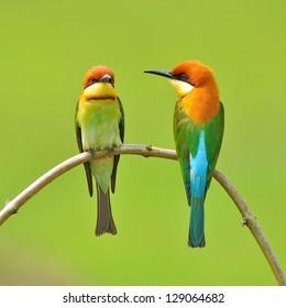 Couple of Bee eater Bird