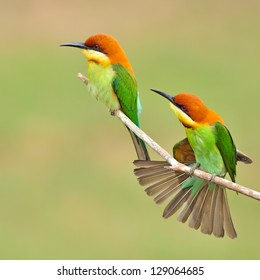 Couple of Bee eater Bird