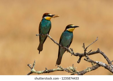 Couple of Bee-Eaters eating lobster (Merops apiaster): The European bee-eater or common bee-eater is a species of coraciiform bird of the Meropidae family that lives in Eurasia and Africa