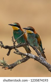 Couple of Bee-Eaters (Merops apiaster): The European bee-eater or common bee-eater is a species of coraciiform bird of the Meropidae family that lives in Eurasia and Africa