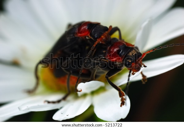 Couple of beetles mating on a flower