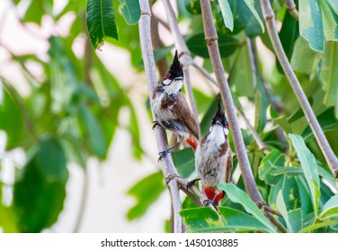 The Couple of Birds Called Red-Whiskered Bulbul or Pycnonotus jocosus on The Tree