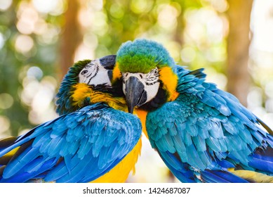 Couple birds on branch tree in the nature / yellow and blue wing macaw birds parrot ara ararauna