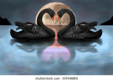 Couple of black swans showing affection in dramatic scene