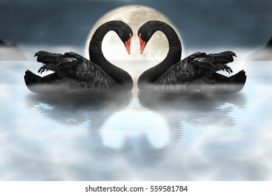 Couple of black swans showing affection in dramatic foggy scene
