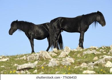 Couple of black wild horses