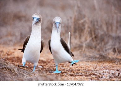 Couple of blue footed boobies performing mating dance