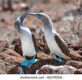 Couple of blue footed boobies performing mating dance. The Blue-footed Boobyis a bird in the Sulidae family which comprises ten species of long-winged seabirds./ Marriage dances of Blue-footed Boobyis