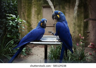 Couple of Blue and yellow macaw. They are large South American parrots with blue top parts and yellow under parts, they are popular because of their color, ability to talk and close bonding to humans.