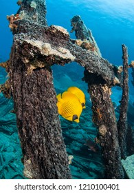 Couple of blue-cheeked butterflyfish