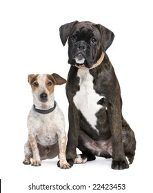 couple of a Boxer and a crossbreed dog in front of a white background