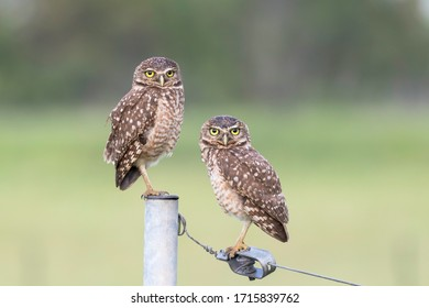 Couple of burrowing owls looking at me