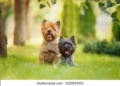 Couple of Cairn Terriers Sitting in Grass
