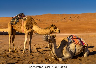 Couple of camels resting in Wahiba Sands , Oman