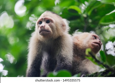 A couple of capuchin monkey on a tree at Gorgona Island, Colombia