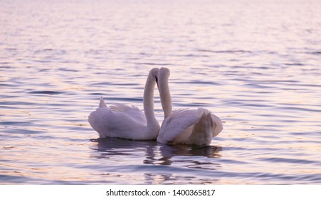 Couple of caressing white swans on the lake on the sunset.