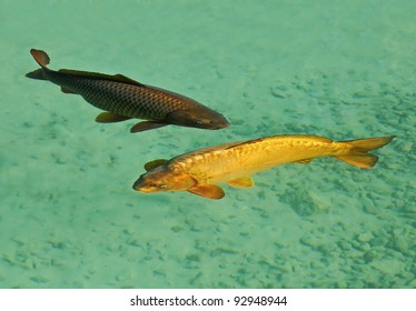 couple of carps fishes in clear water