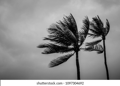 Couple coconut palm tree on windy and storm day with copy space on black and white color