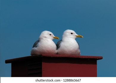 a couple of common gull - seagull  lying on a chimney