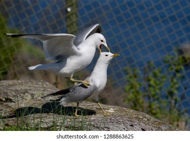 a couple of common gull - seagull mating