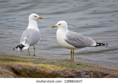 a couple of common gull - seagull standing on a rock
