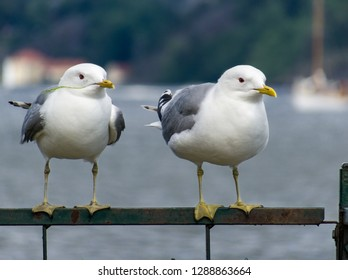 a couple of common gull - seagull standing on rail