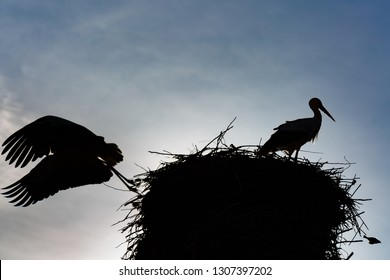 Couple of common storks in the nest. Backlight, silhouettes. Ciconia ciconia.