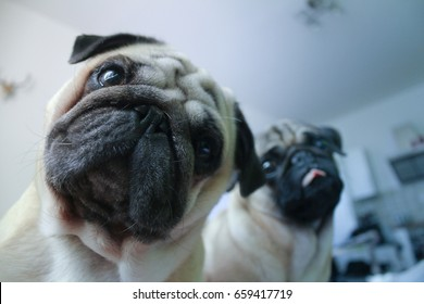 Couple of confused pugs