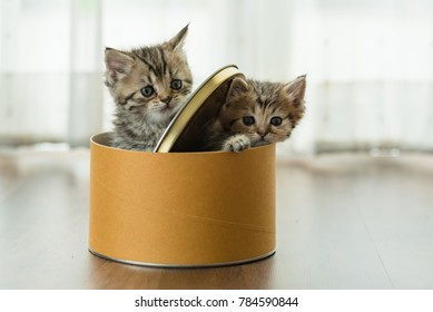 Couple of cute kitten playing together in paper box in home.