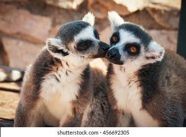 Couple of cute lemurs, one tenderly licking the other on a cheek