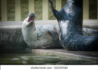 Couple of cute seals playfully fighting each other