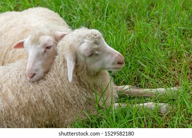 Couple of cute sheeps on green grass