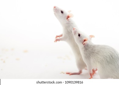 A couple of cute smart rats looking with interest on white background