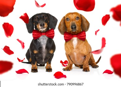 couple of dachshund  sausage dogs  in love for happy valentines day with  rose flower in  mouth , isaolated on white background petals flying around in air